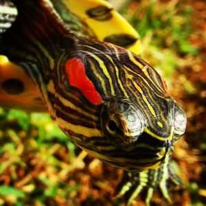 how lond do red eared sliders live