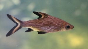 freshwater fish that look like sharks