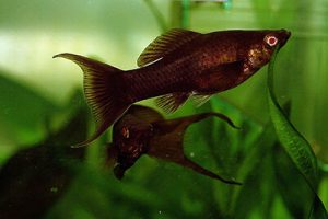 BEST FRESHWATER AQUARIUM FISH FOR BEGINNERS