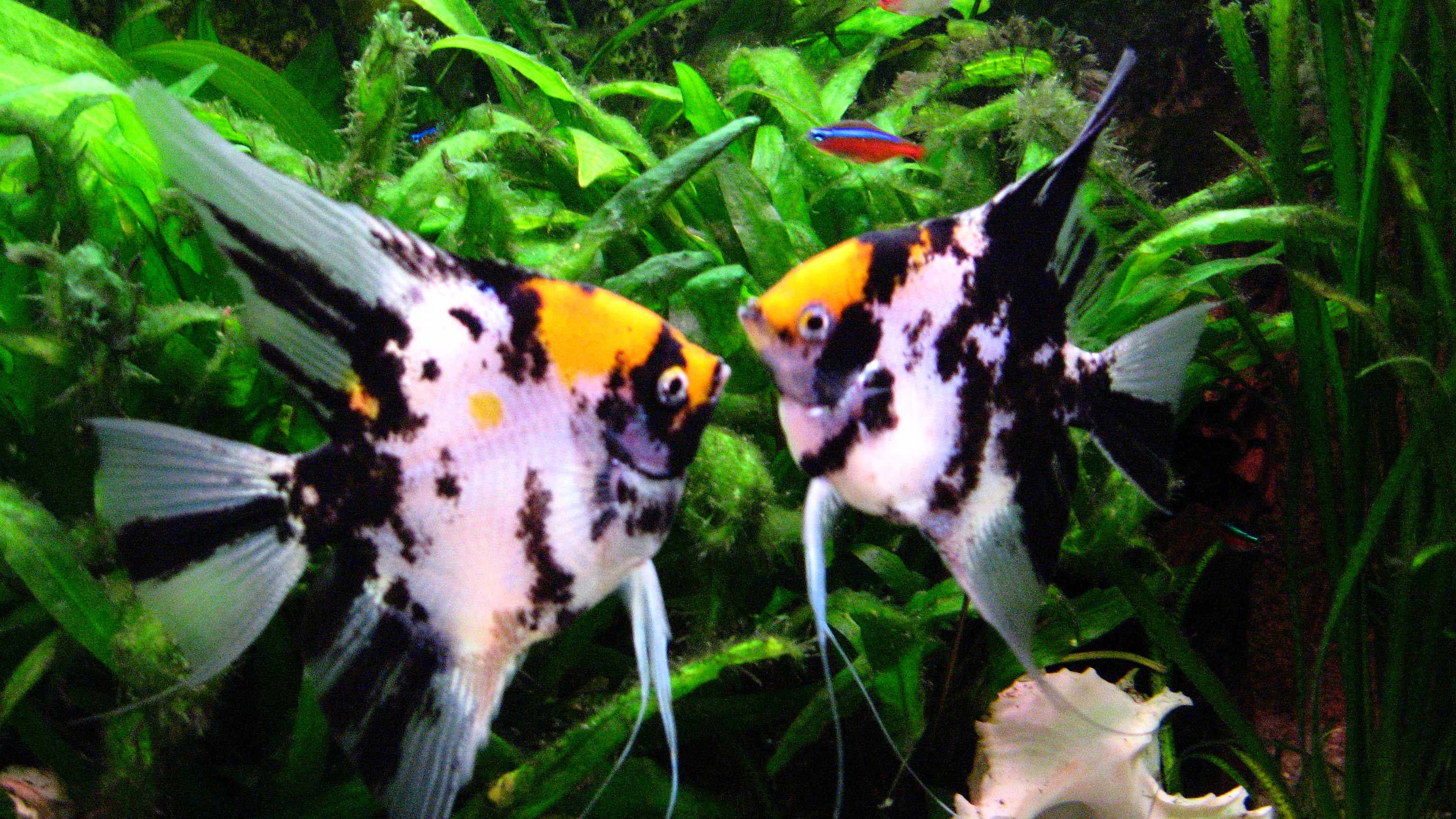 Best food for angelfish help your angels reach their for Freshwater angel fish