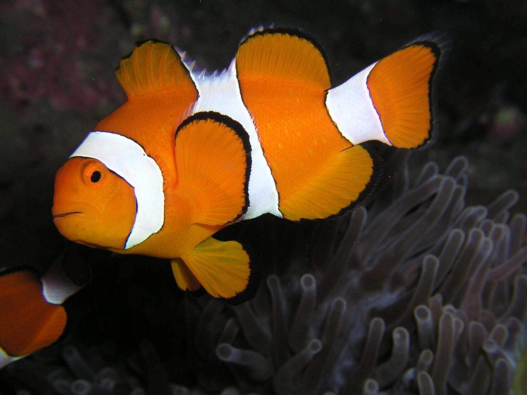interesting clownfish facts