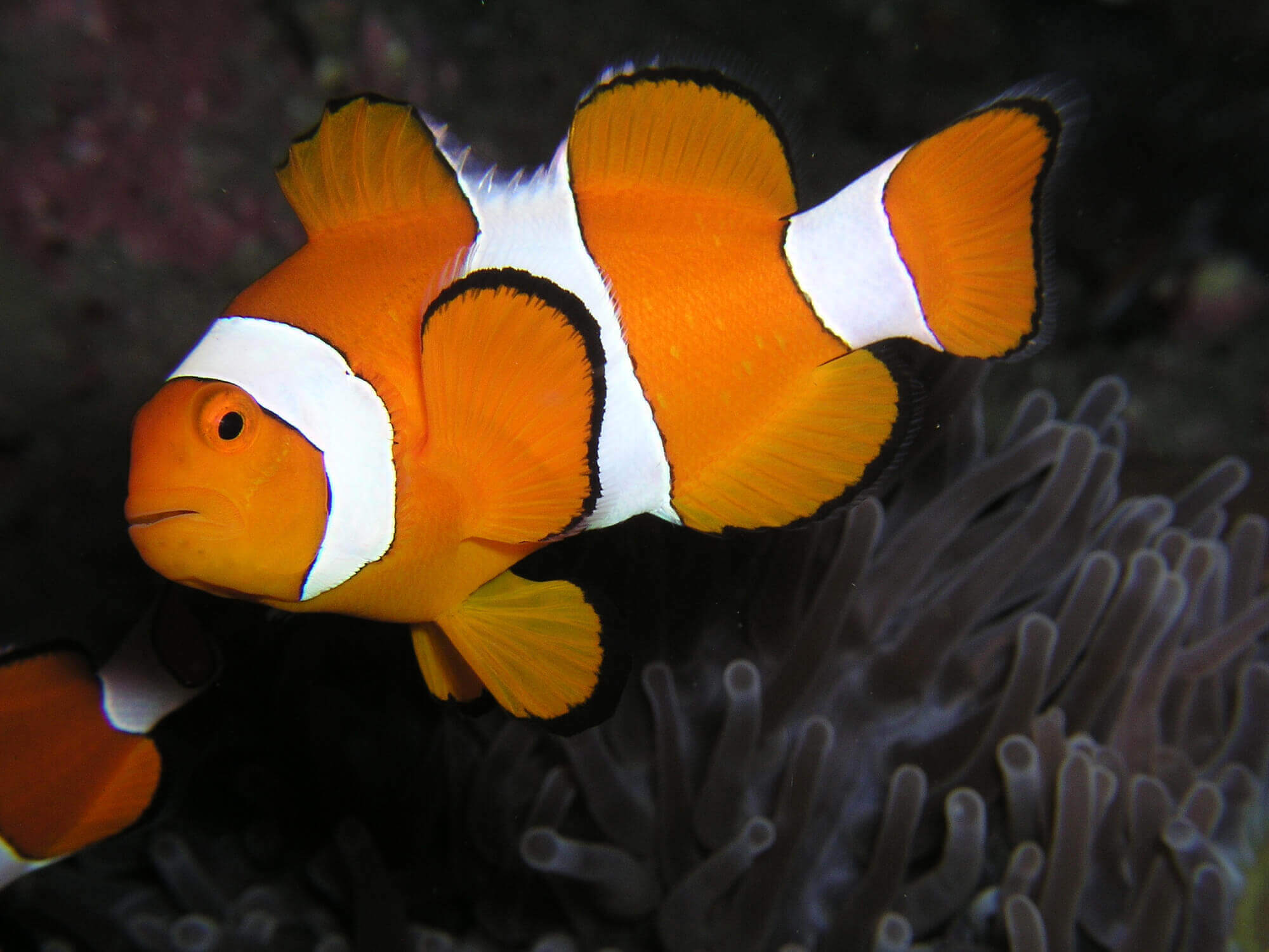 interesting clownfish facts