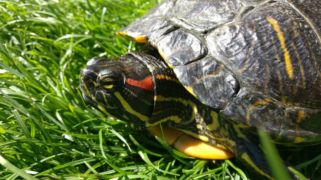 how big do red eared sliders get