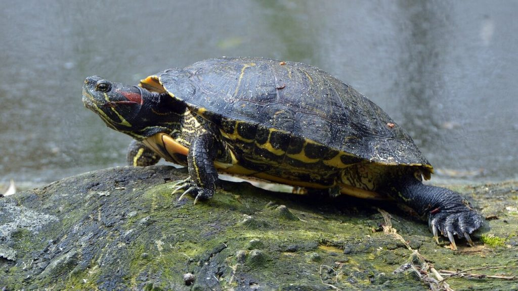 red eared slider turtle facts