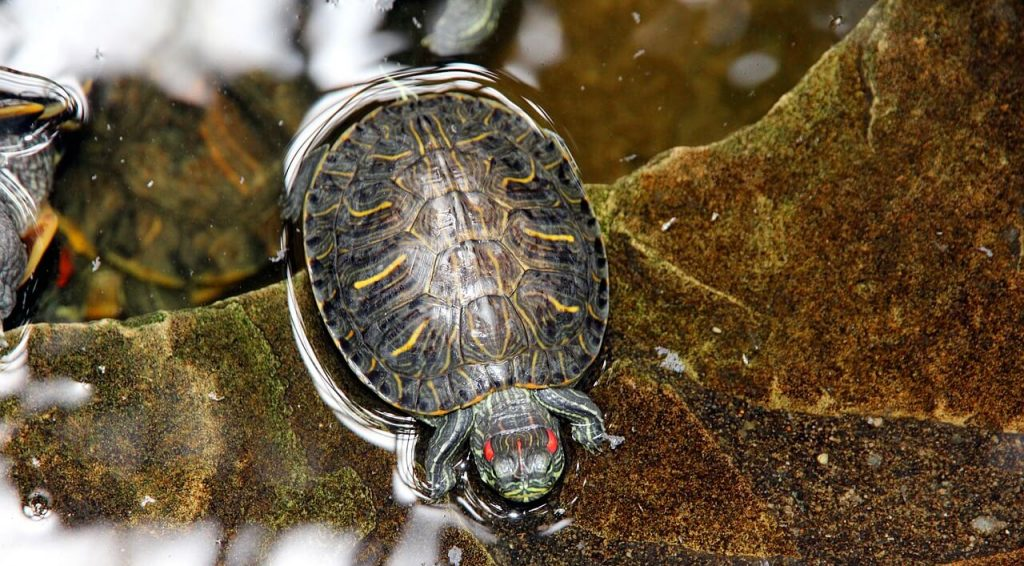 red eared slider tank size