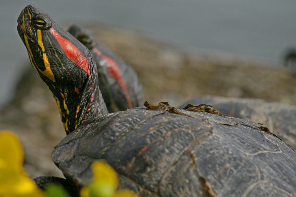 how long can a turtle go without eating