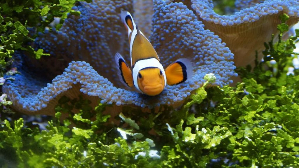 Clownfish Is Not Eating
