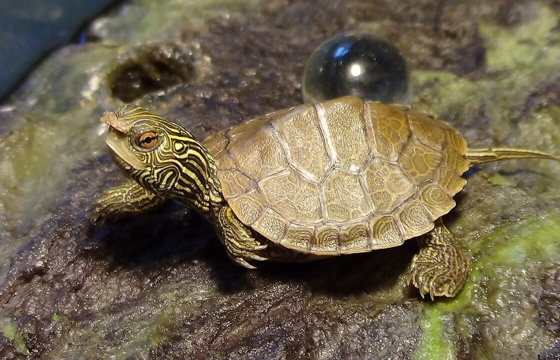 5 Cute Pet Turtles That Stay Small Forever Smallest Turtle Species Aquaticpals