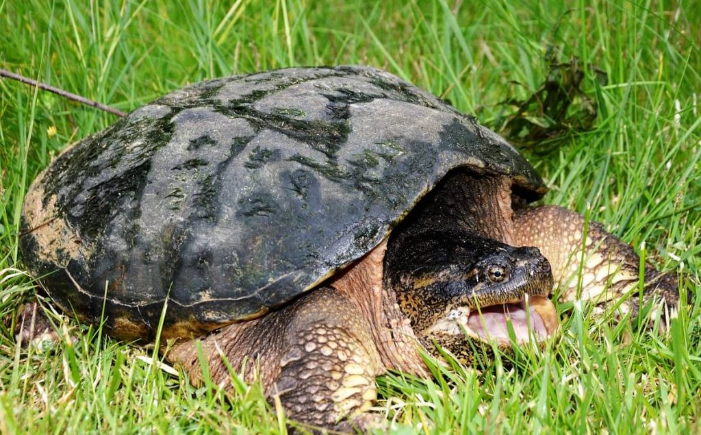 How Big Do Snapping Turtles Get