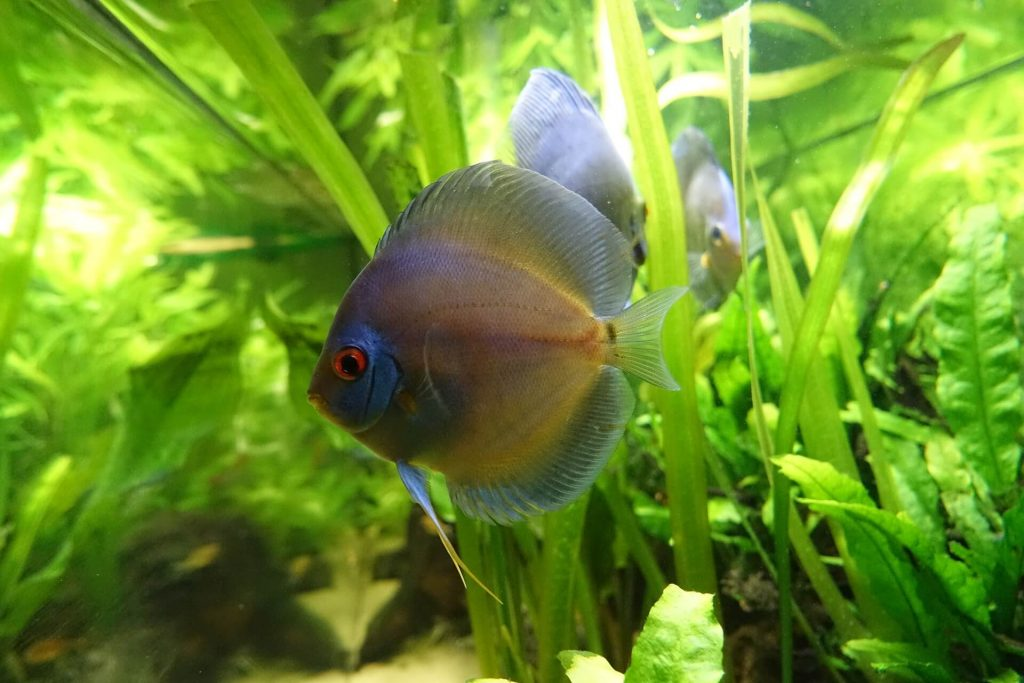 why are discus fish so expensive