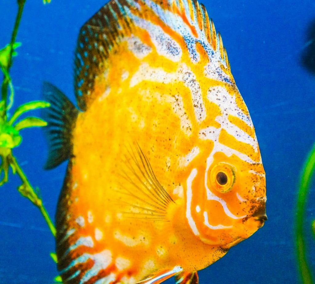 Do discus really need daily water changes
