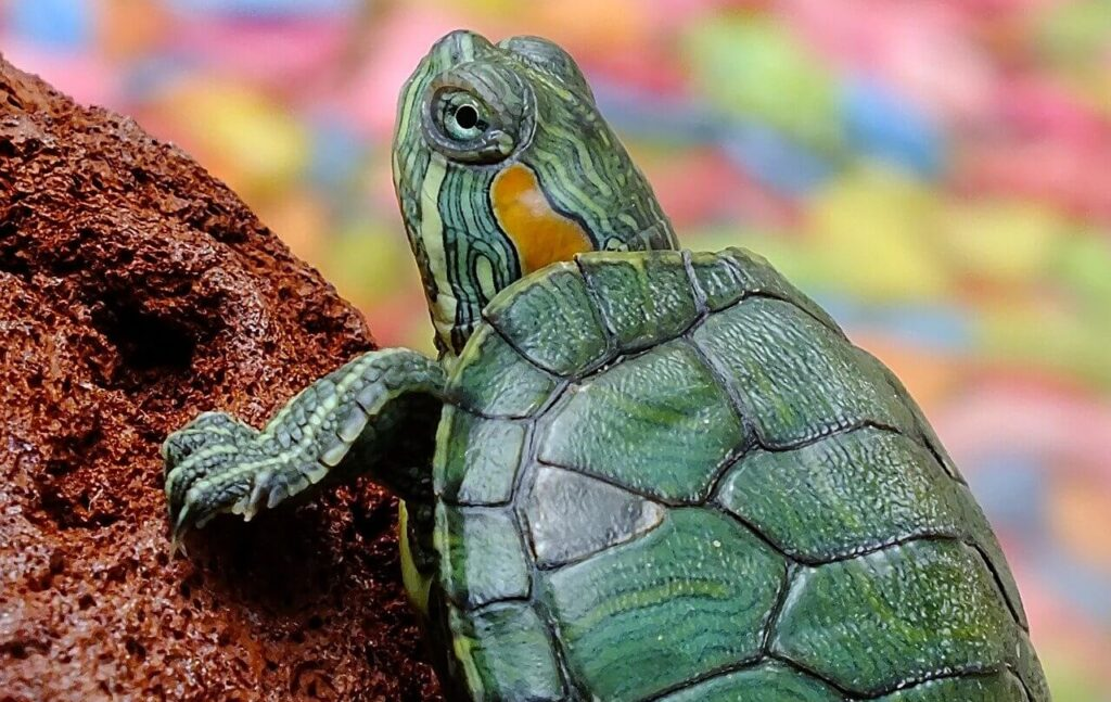 How Long Should a Turtle Basking Light Be On